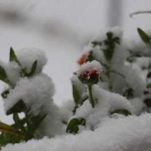 flowers in the snow-Late Bloomers